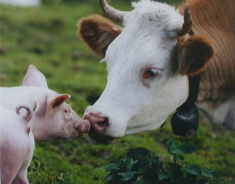 external image COW-AND-PIG-FRIENDS.jpg