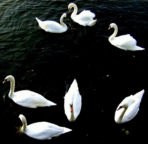 Swans a Swimming 7 Swans a Swimming