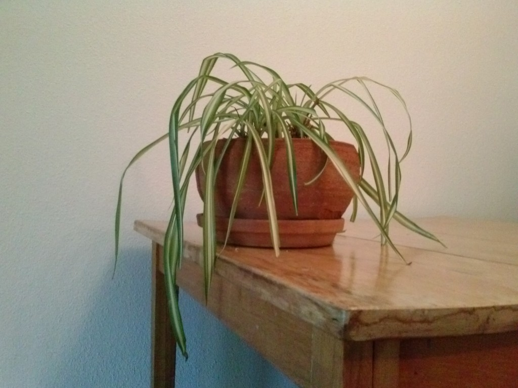SPIDER PLANT REPOT