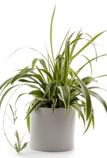 SPIDER PLANT WHITE POT